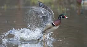 picture of duck taking flight in water