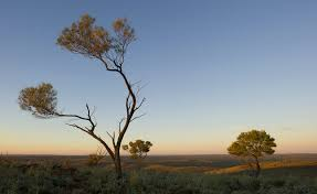 picture of the acacia aneura mulga tree