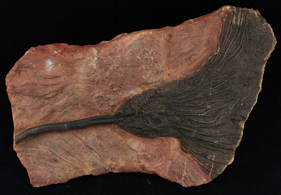 Well Preserved Scyphocrinities Crinoid Fossil (420 million years old) - Roadshow Collectibles