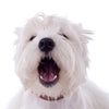 Pet Tutor barking Westie