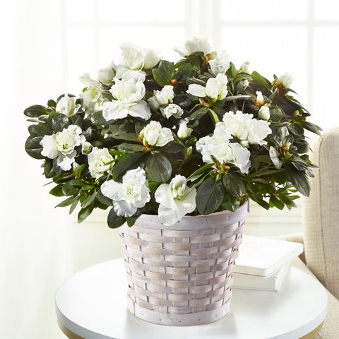 The White Azalea Plant