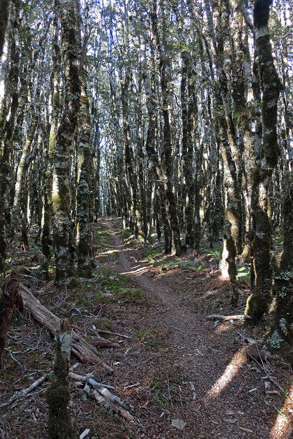 Beautiful south island Beech forest