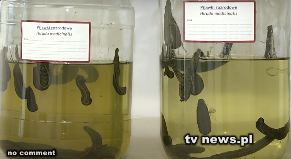 Polish company breeds leeches for export