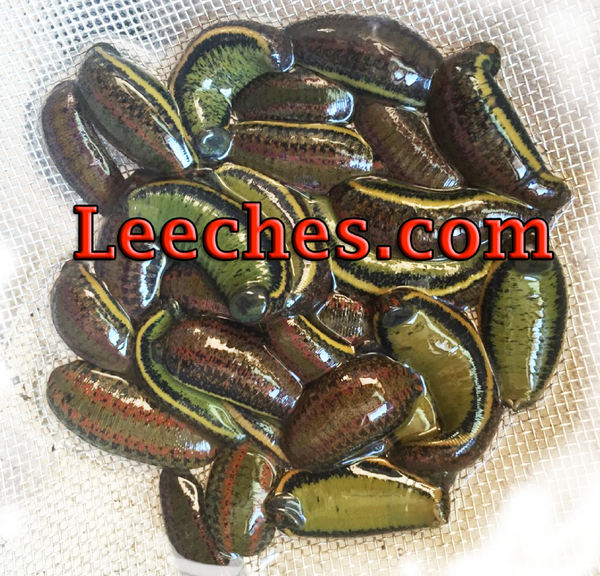 Wholesale Bloodsucker Leech