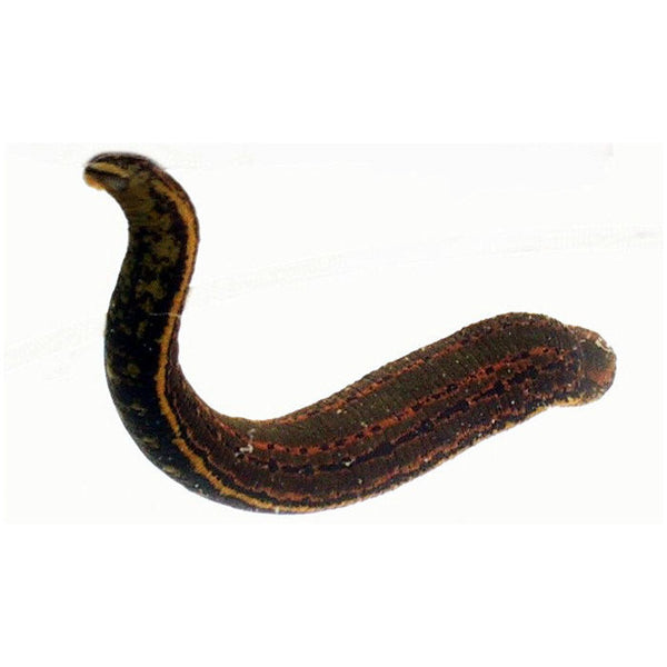 SMALL Medical Leeches