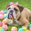Everything You Need To Know About The English Bulldog!