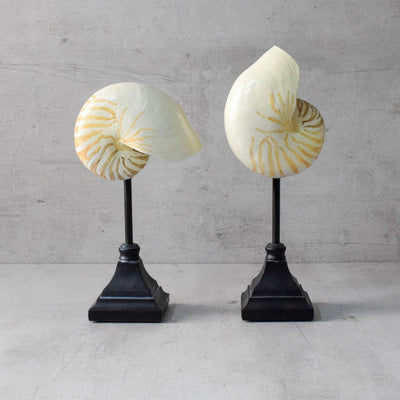 Seychelles Shell Sculpture (Set of 2) - Home Artisan