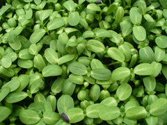 Fresh Organic Sunflower Sprouts (Sunflower Greens)