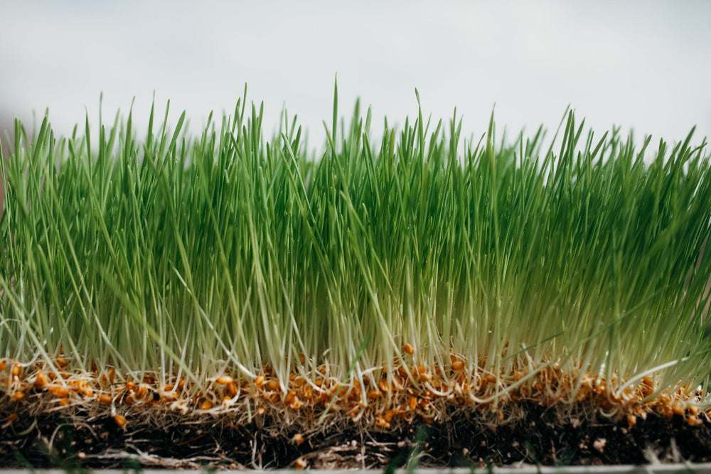 Load image into Gallery viewer, Organic Wheatgrass, grown in nutrient-dense compost blend