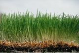 Organic Wheatgrass, grown in nutrient-dense compost blend