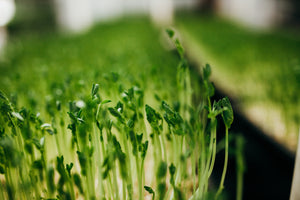 Load image into Gallery viewer, Organic Pea Sprouts (Pea Shoots or Pea Greens)