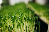 Organic Pea Sprouts (Pea Shoots or Pea Greens)