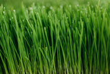 fresh organic Organic wheatgrass
