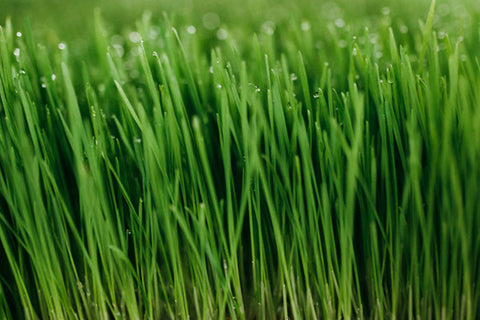 1 LB Fresh Organic Wheatgrass