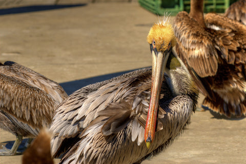 The Pelican's Glare