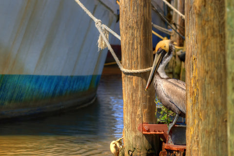 Pelican on the Dock