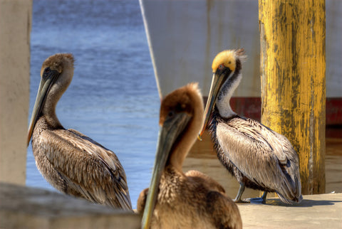 Pelican Watch