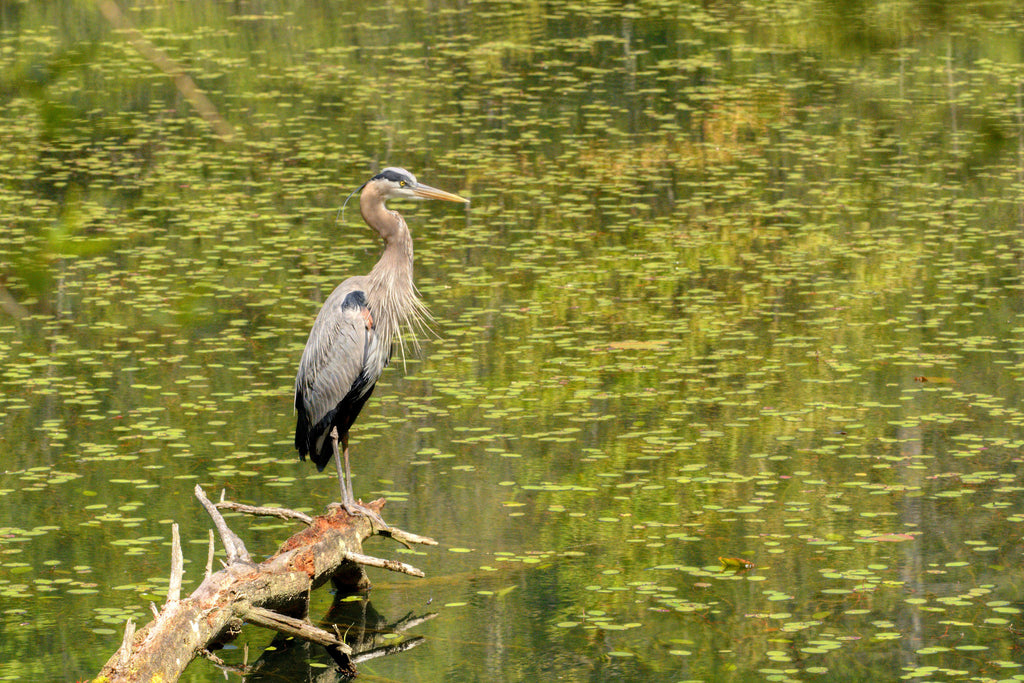 Blue Heron on the Lake