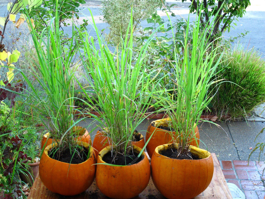Lemongrass farm to table organic how to plant