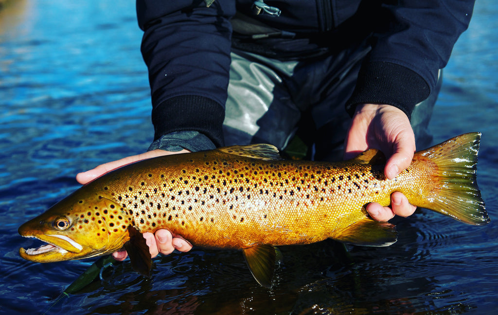 Brown Trout on the Madison River - Yellowstone National Park