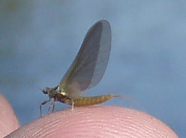 Mayfly on the Firehole River in Yellowstone National Park