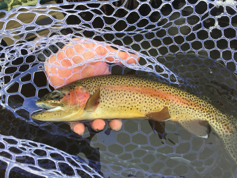 Rainbow trout in fly fishing net - Madison River