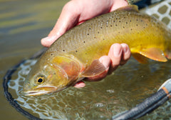 Madison River Fishing Reports and Information