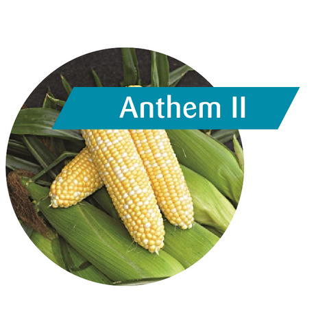 Anthem II (RR, Bt) Sweet Corn