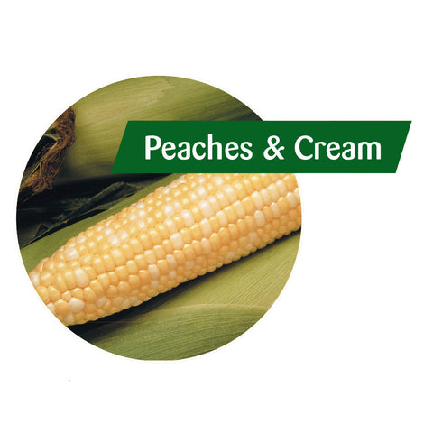 Peaches 'n Cream Sweet Corn