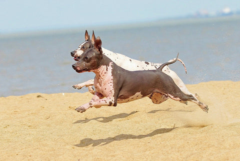 American Hairless Terrier Breed Course