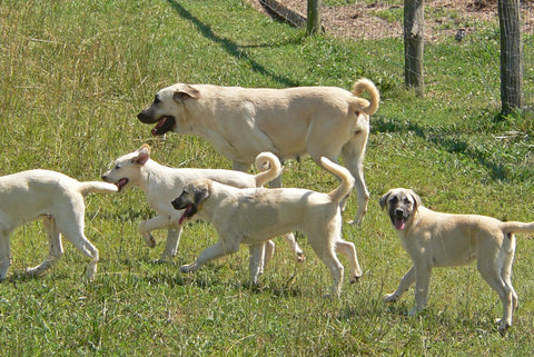 Anatolian Shepherd Dog Breed Course