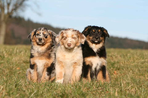 ABCs of Dog Breeding, Genetics Part 2 - Free Course