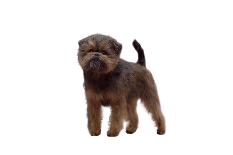 Affenpinscher Breed Exam