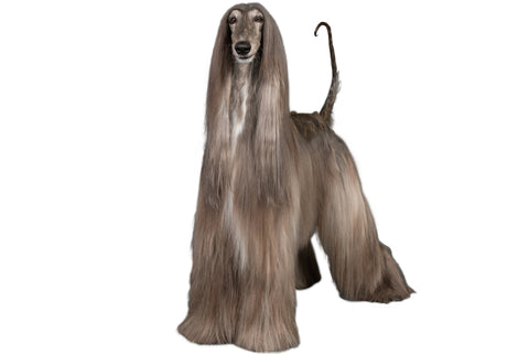 Afghan Hound Breed Exam