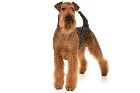 Airedale Terrier Breed Exam