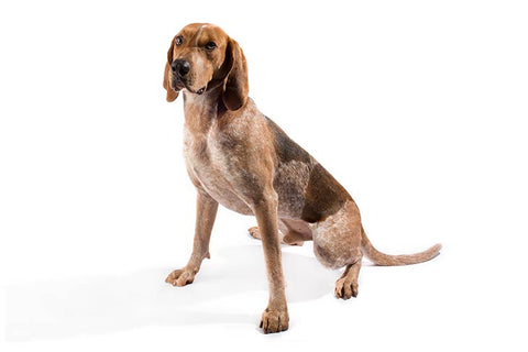 American English Coonhound Breed Exam