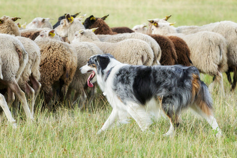 Australian Shepherd Breed Course