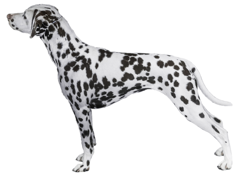 Profile of Dalmatian