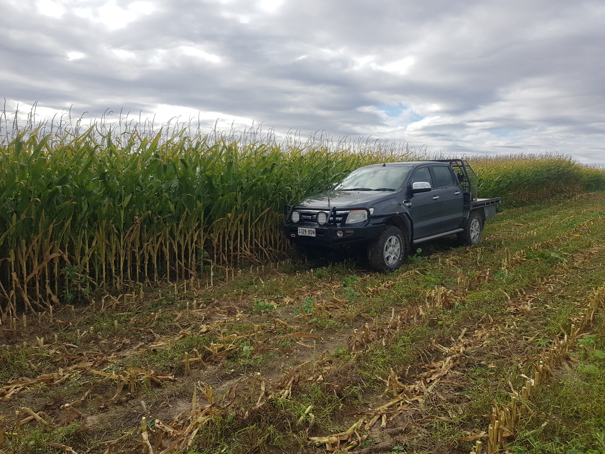 Ute in a Maize Field