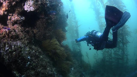 Diver with Kelp and reef