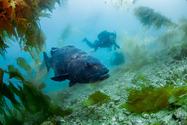 Giant Black Sea Bass, Orange County Scuba Divers