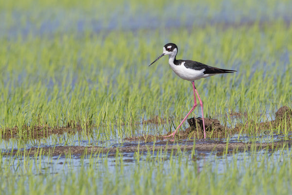 Spring Water brings Shorebirds to Rice Country