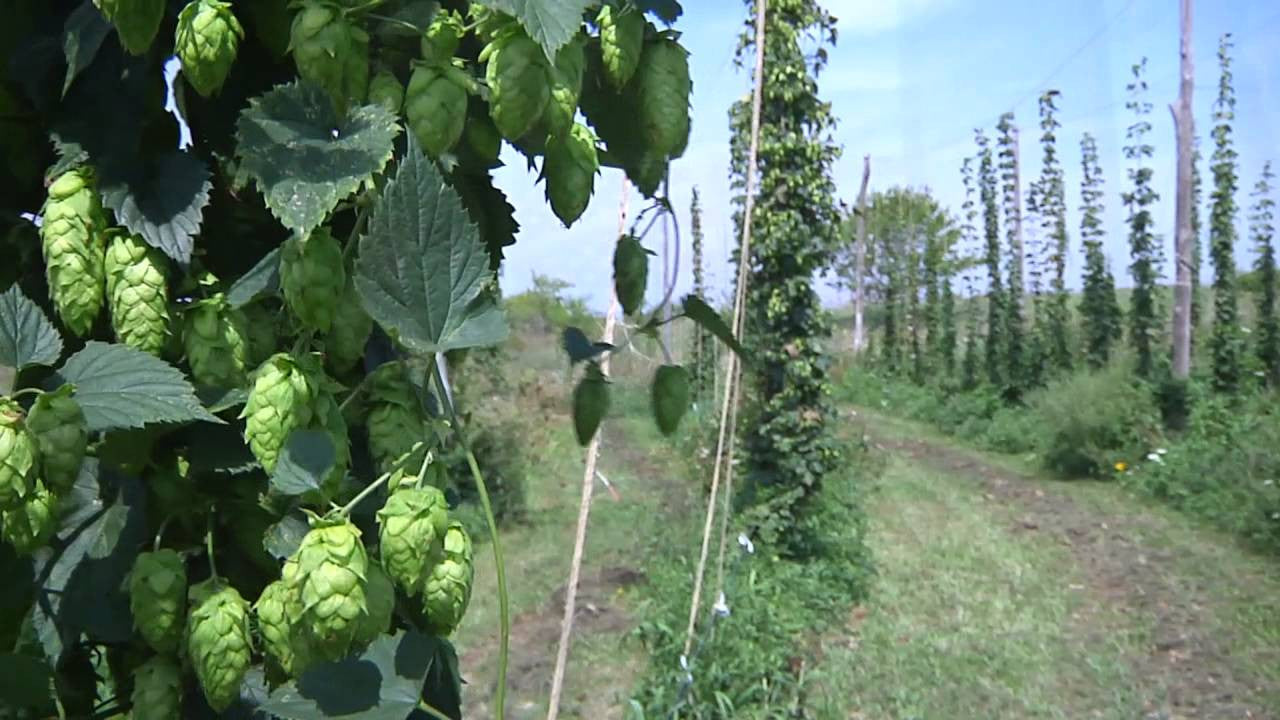 Hops 101: the what, where, how, and why of hops