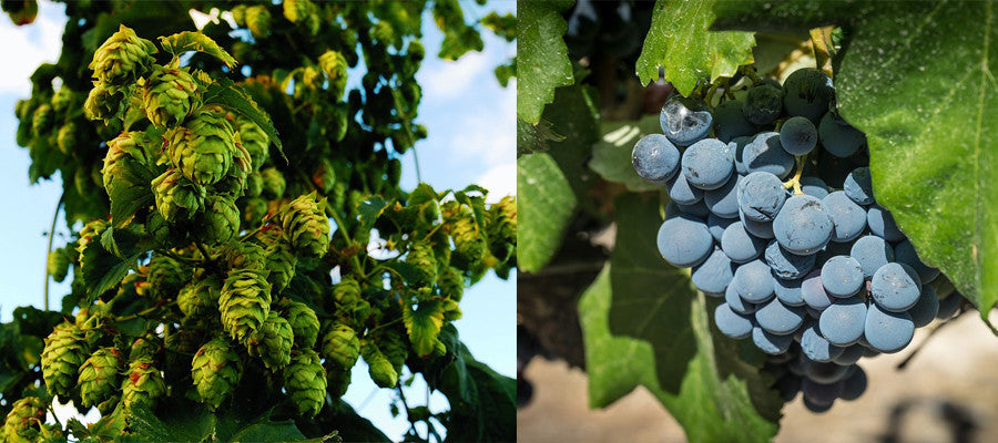 Hops vs grapes: craft beer breweries in wine country