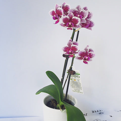 Orchid Plant - Coloured