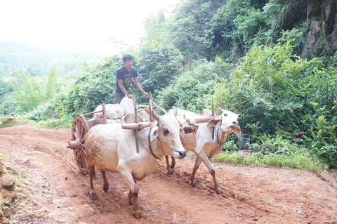 makers travelers myanmar kalaw trek buffaloes rainy season mud