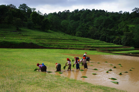 makers travelers myanmar rice field workers trek inle village remote