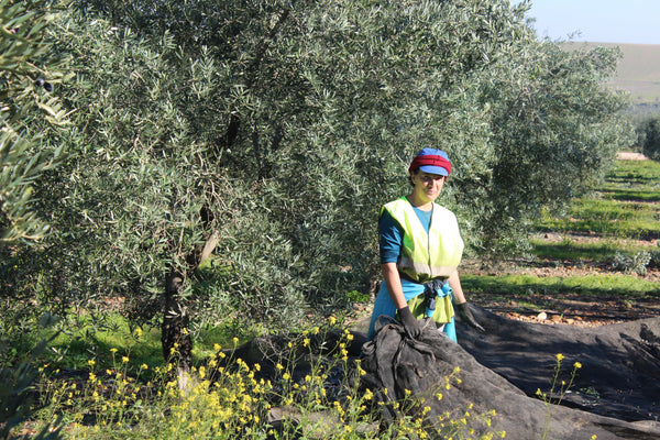 The 2018 Olive Harvest Has Begun in Spain
