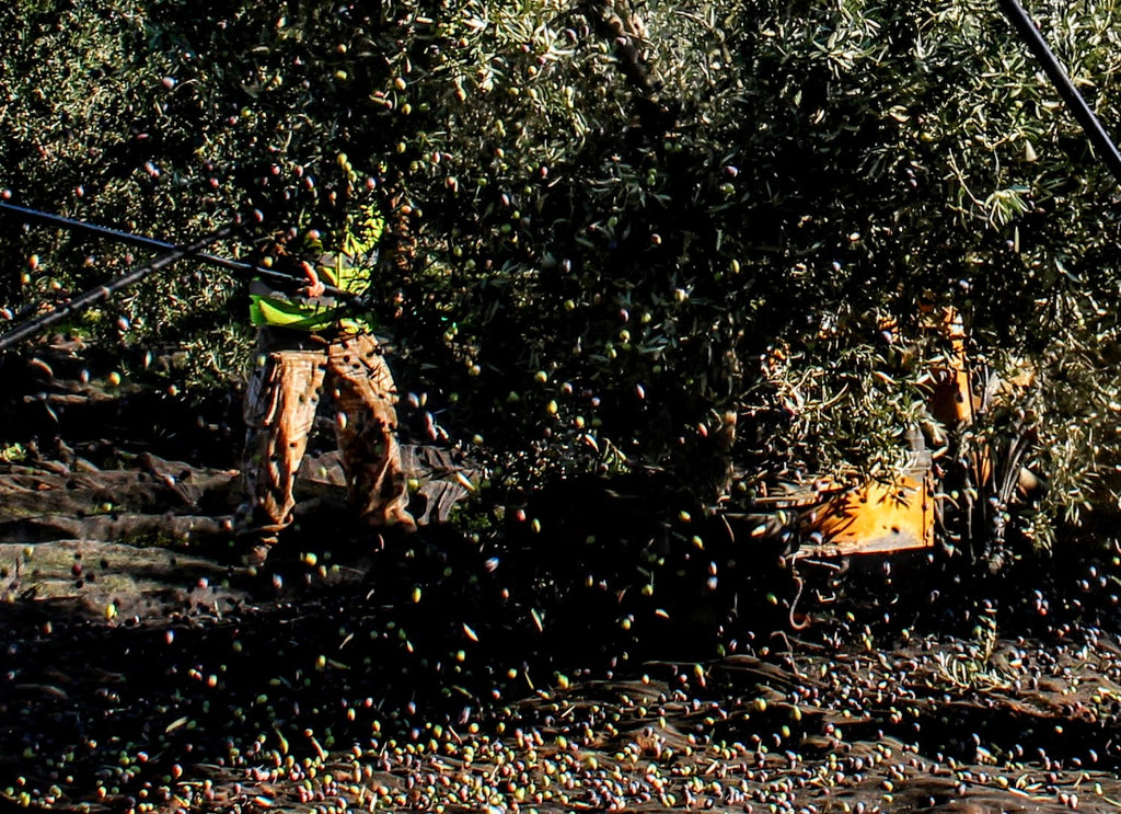 Olive Harvesting in Spain - Mechanical vs Hand Picked