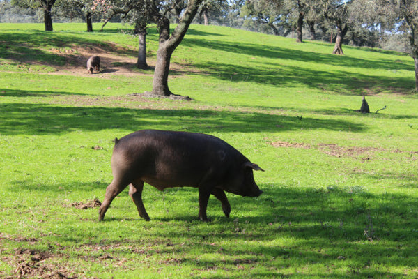 Spanish Pata Negra Pigs and Their Bellies (yum, yum)
